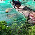 Thực hiện thả 120kg cá lóc . thứ 7 nhé  Thứ 7. (28/11) Thả cá lần 1. 70kg CÁ LÓ